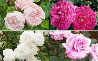 Mang mùa xuân đến khu vườn nhà bạn với 9 loài hoa hồng tuyệt đẹp