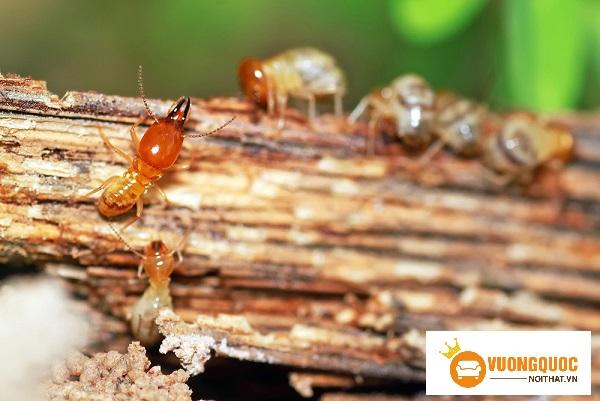 Mách bạn cách xử lý gỗ chống mối mọt đầy hiệu quả